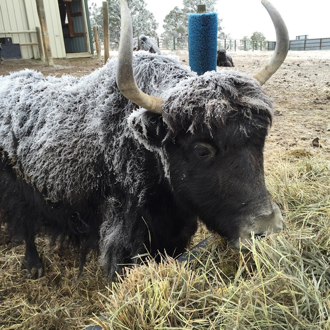 Ruby, one of the Bijou Basin Ranch yak herd!